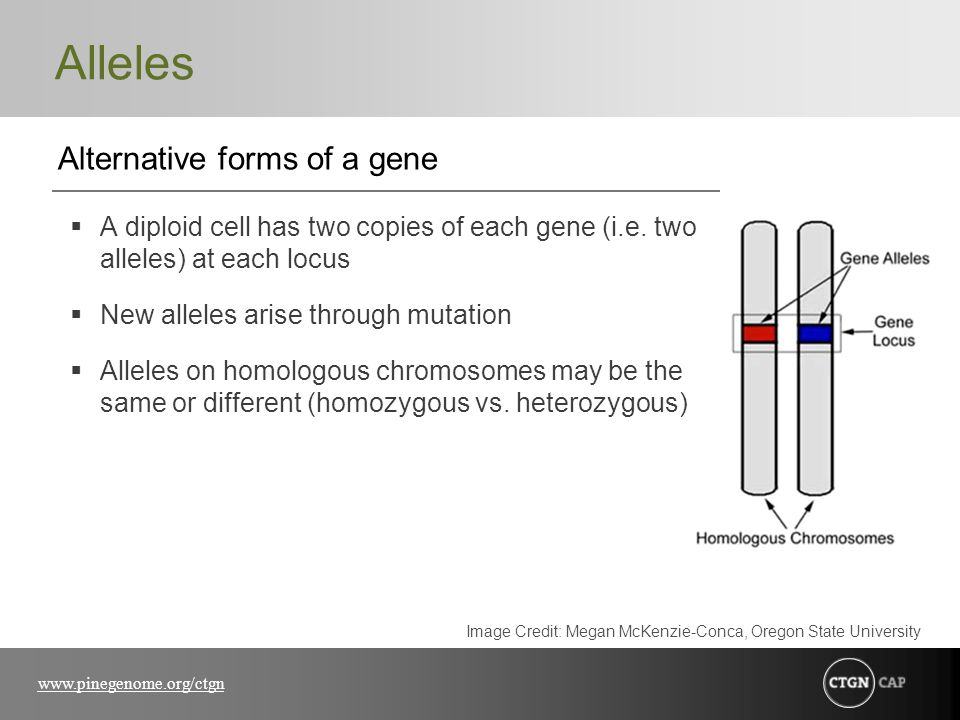 www.pinegenome.org/ctgn Alleles Alternative forms of a gene  A diploid cell has two copies of each gene (i.e. two alleles) at each locus  New allele