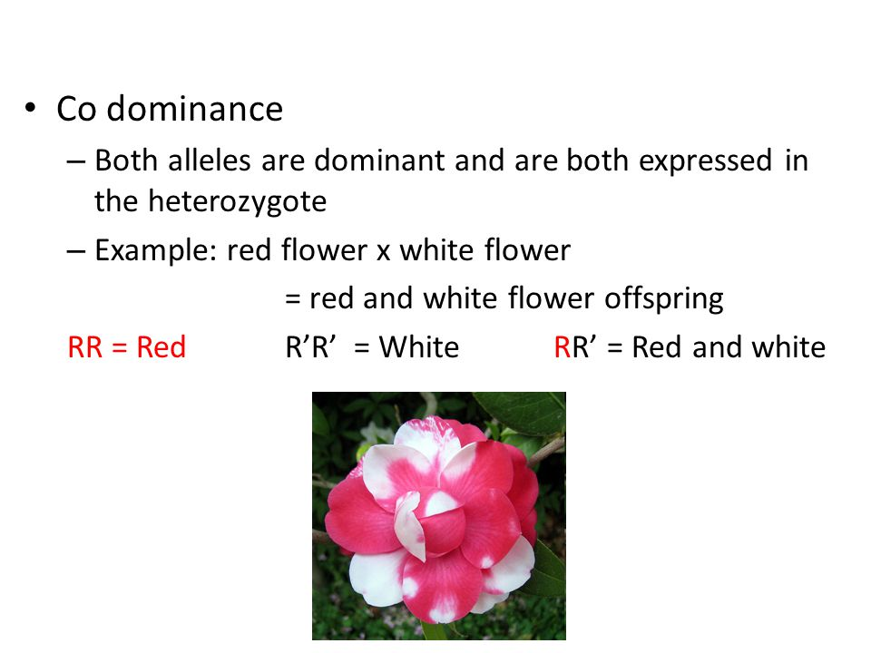 Co dominance – Both alleles are dominant and are both expressed in the heterozygote – Example: red flower x white flower = red and white flower offspring RR = Red R'R' = White RR' = Red and white