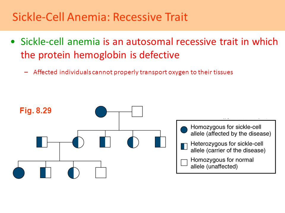 Sickle-Cell Anemia: Recessive Trait Sickle-cell anemia is an autosomal recessive trait in which the protein hemoglobin is defective –Affected individu