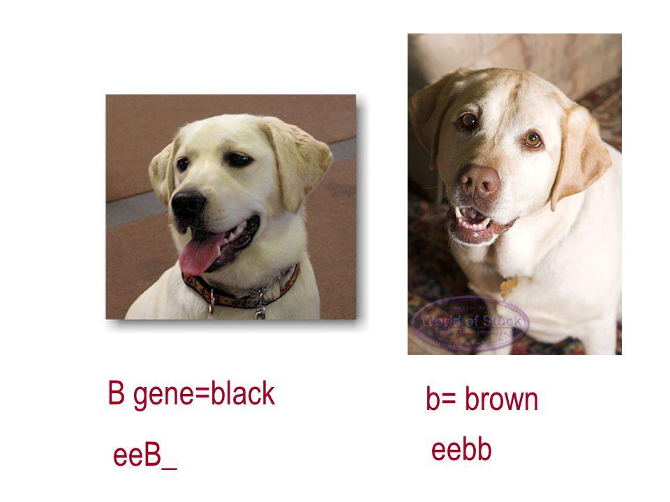 B gene=black b= brown eeB_ eebb