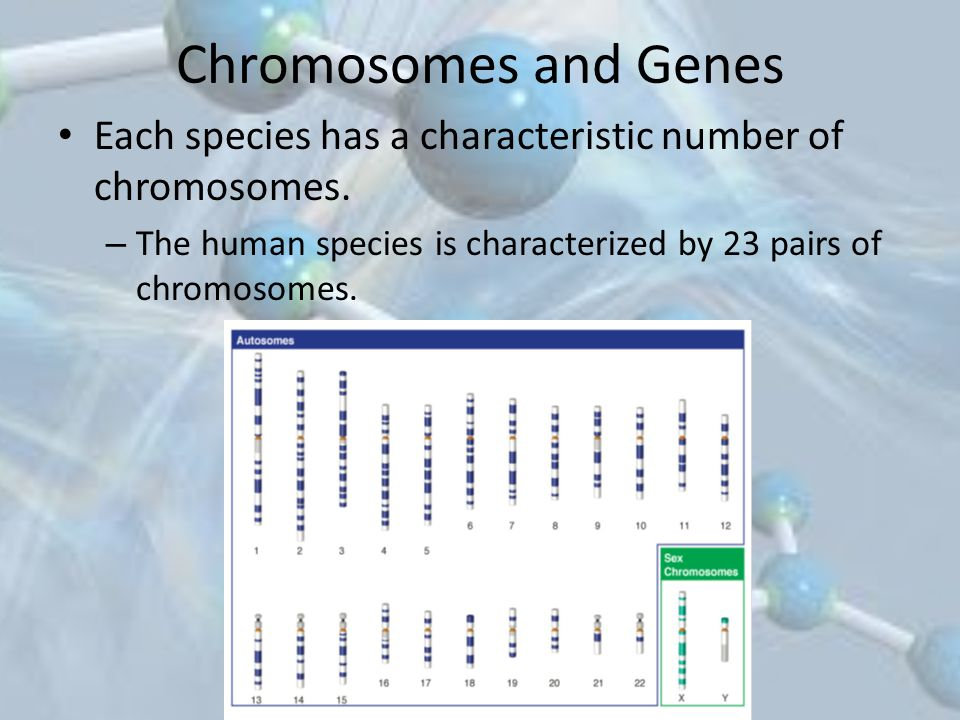 Chromosomes and Genes Each species has a characteristic number of chromosomes.