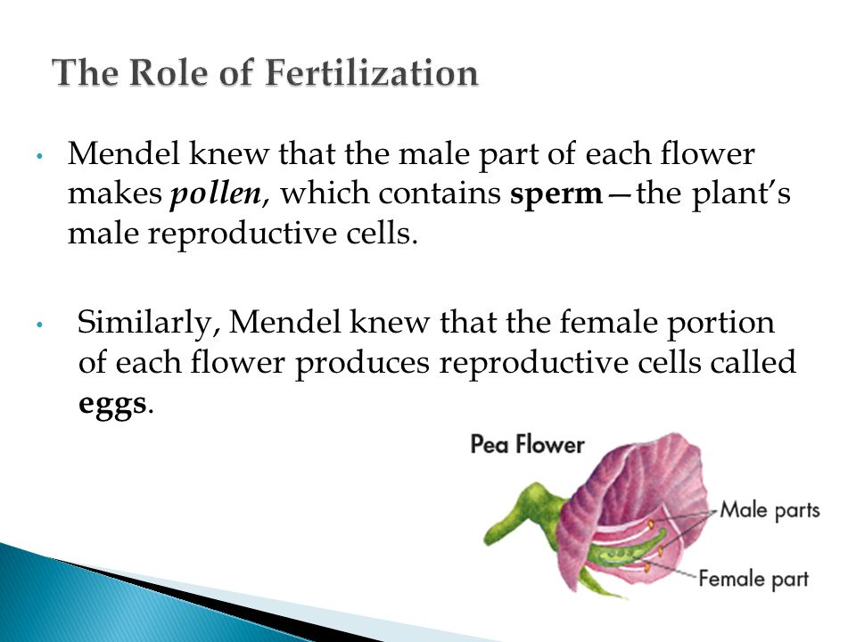 Mendel knew that the male part of each flower makes pollen, which contains sperm —the plant's male reproductive cells. Similarly, Mendel knew that the