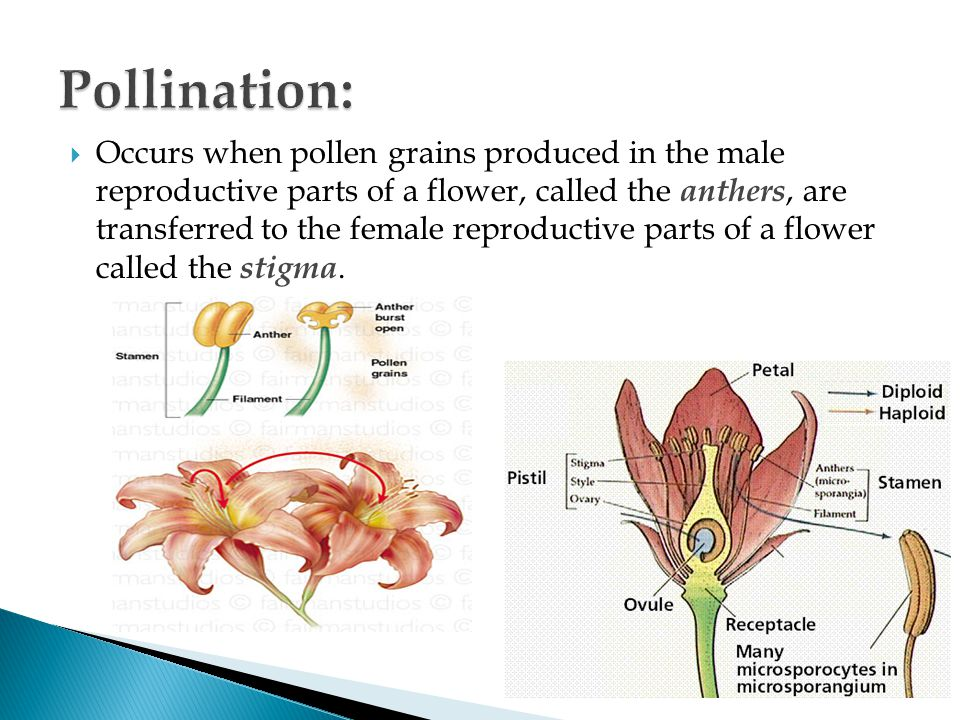  Occurs when pollen grains produced in the male reproductive parts of a flower, called the anthers, are transferred to the female reproductive parts