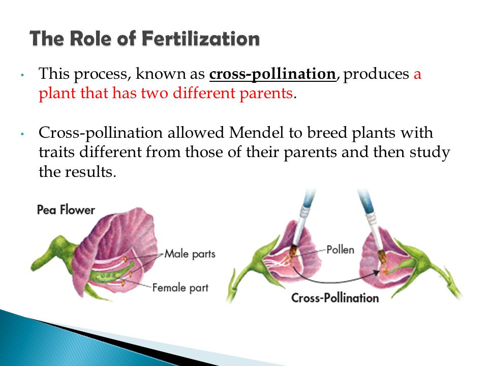 This process, known as cross-pollination, produces a plant that has two different parents. Cross-pollination allowed Mendel to breed plants with trait