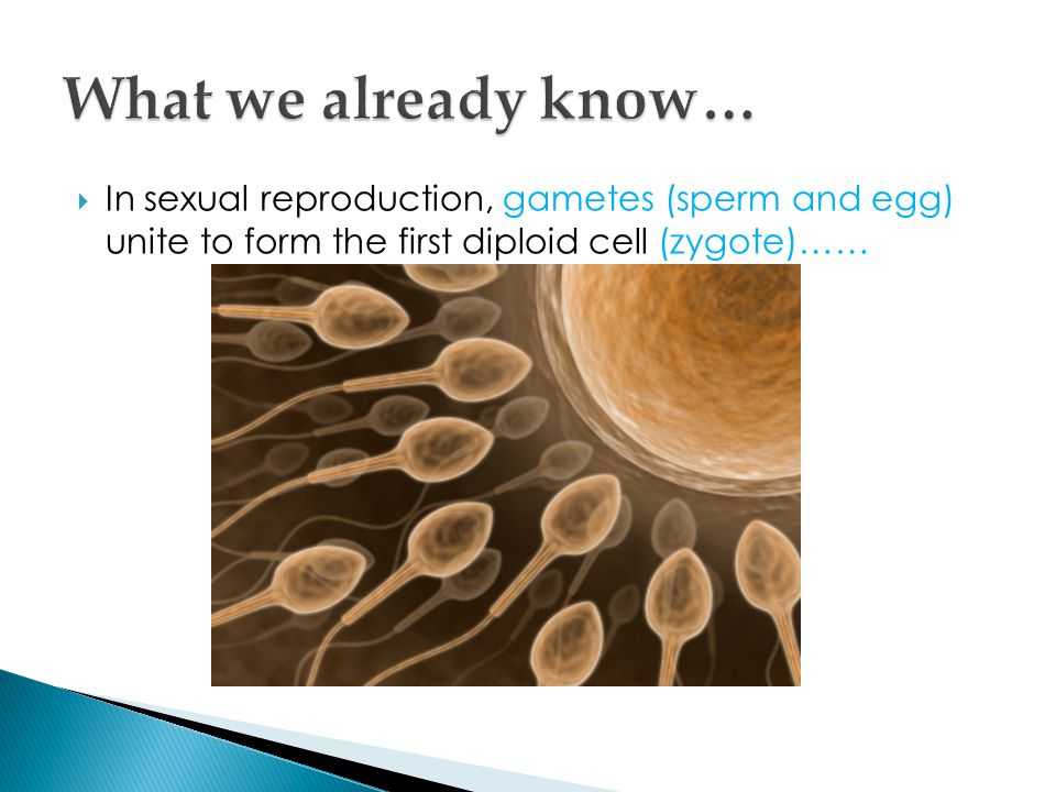  In sexual reproduction, gametes (sperm and egg) unite to form the first diploid cell (zygote)……