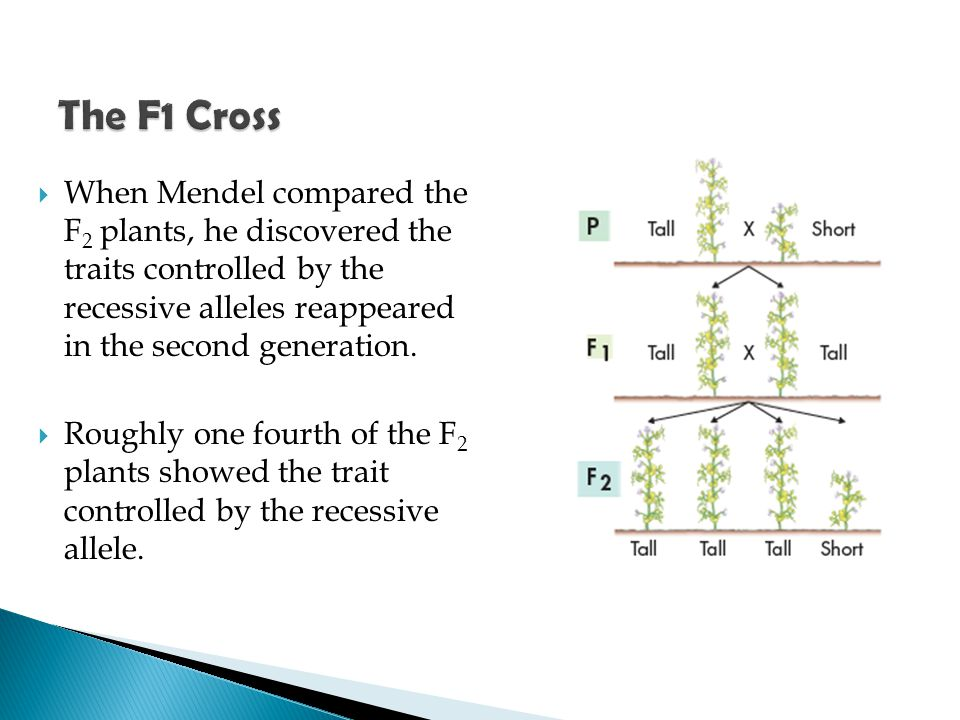  When Mendel compared the F 2 plants, he discovered the traits controlled by the recessive alleles reappeared in the second generation.  Roughly one