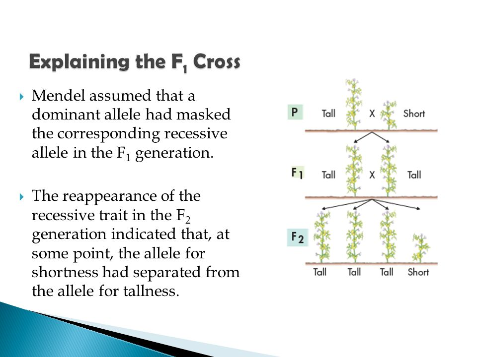  Mendel assumed that a dominant allele had masked the corresponding recessive allele in the F 1 generation.  The reappearance of the recessive trait