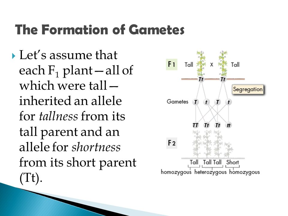  Let's assume that each F 1 plant—all of which were tall— inherited an allele for tallness from its tall parent and an allele for shortness from its