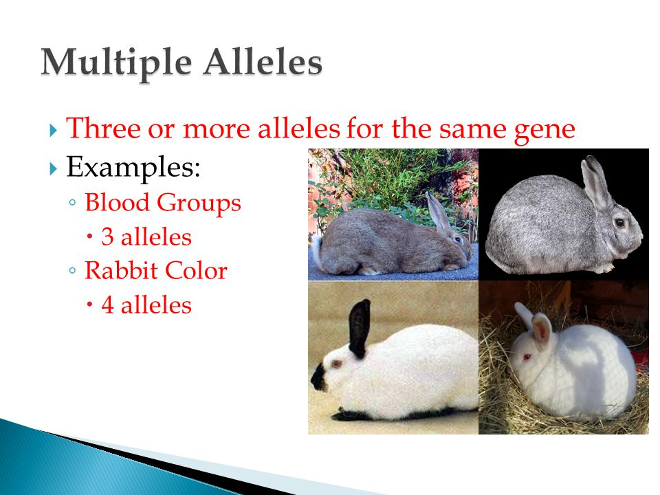  Three or more alleles for the same gene  Examples: ◦ Blood Groups  3 alleles ◦ Rabbit Color  4 alleles