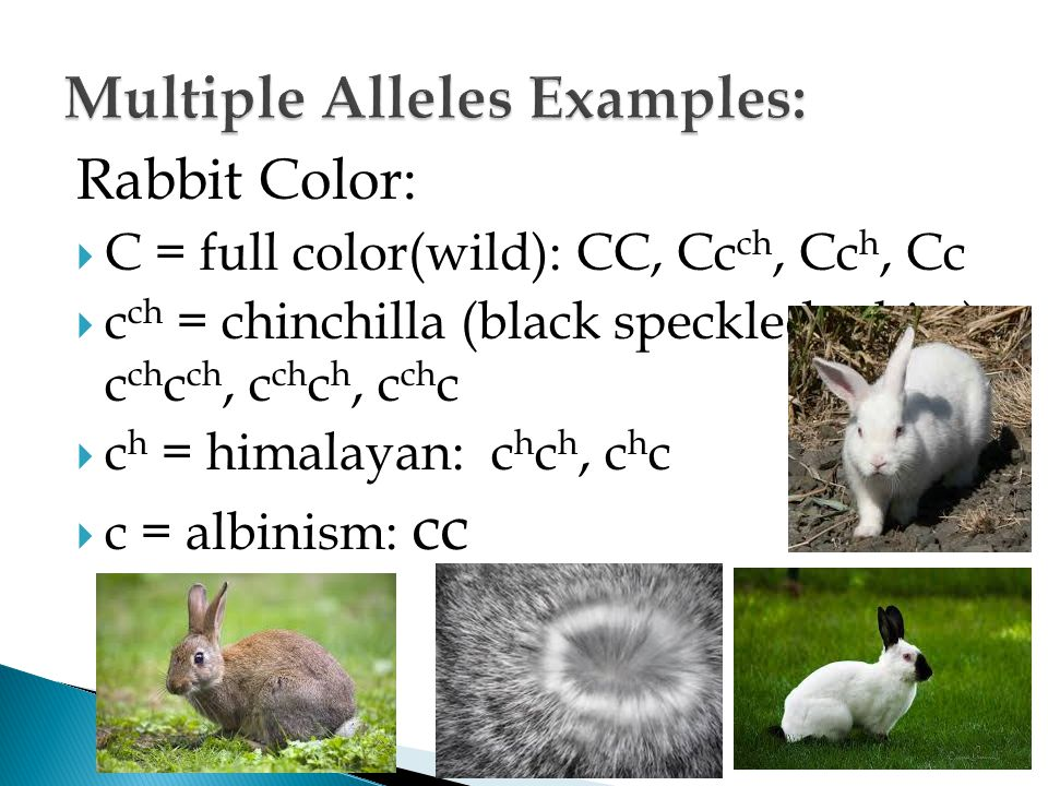 Rabbit Color:  C = full color(wild): CC, Cc ch, Cc h, Cc  c ch = chinchilla (black speckled white): c ch c ch, c ch c h, c ch c  c h = himalayan: c