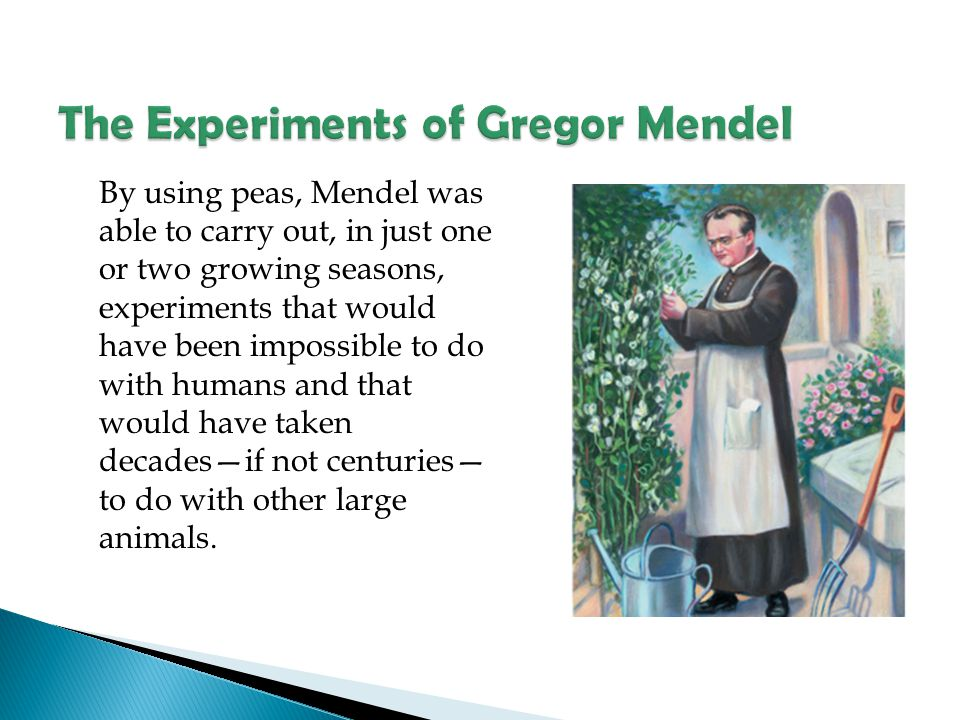 By using peas, Mendel was able to carry out, in just one or two growing seasons, experiments that would have been impossible to do with humans and tha
