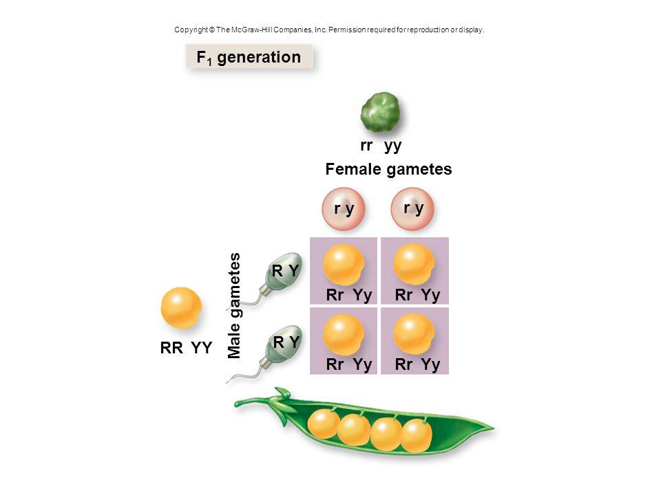 YY RYRyrYry RY Ry rY ry 9 3 3 1 F 2 generation Female gametes Male gametes Phenotypic ratio 9:3:3:1 Smooth, yellow Smooth, green Wrinkled, yellow Wrinkled, green RR Rr Yy RrYYRrYyRR YyRRyyRrYyyyRr YY RrYy rrYYrrYy RryyrrYyrryy YyRr