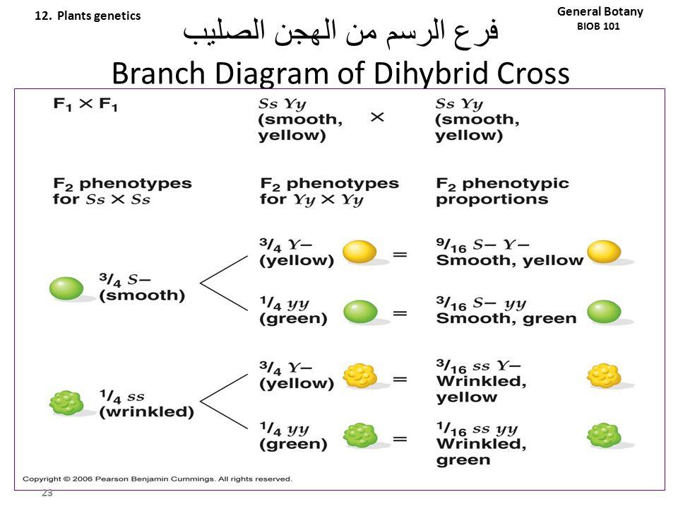 فرع الرسم من الهجن الصليب Branch Diagram of Dihybrid Cross 23 General Botany BIOB 101 12. Plants genetics