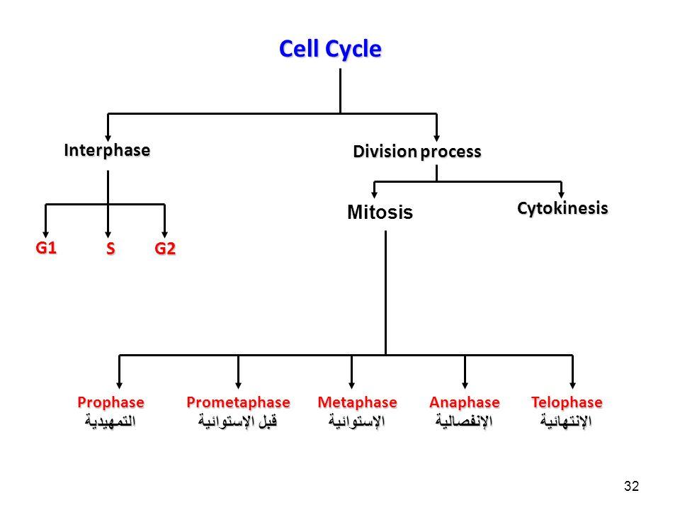 32 Cell Cycle Interphase Prophase التمهيدية Prometaphase قبل الإستوائية Metaphase الإستوائية Anaphase الإنفصالية Telophase الإنتهائية G1SG2 Division process MitosisCytokinesis