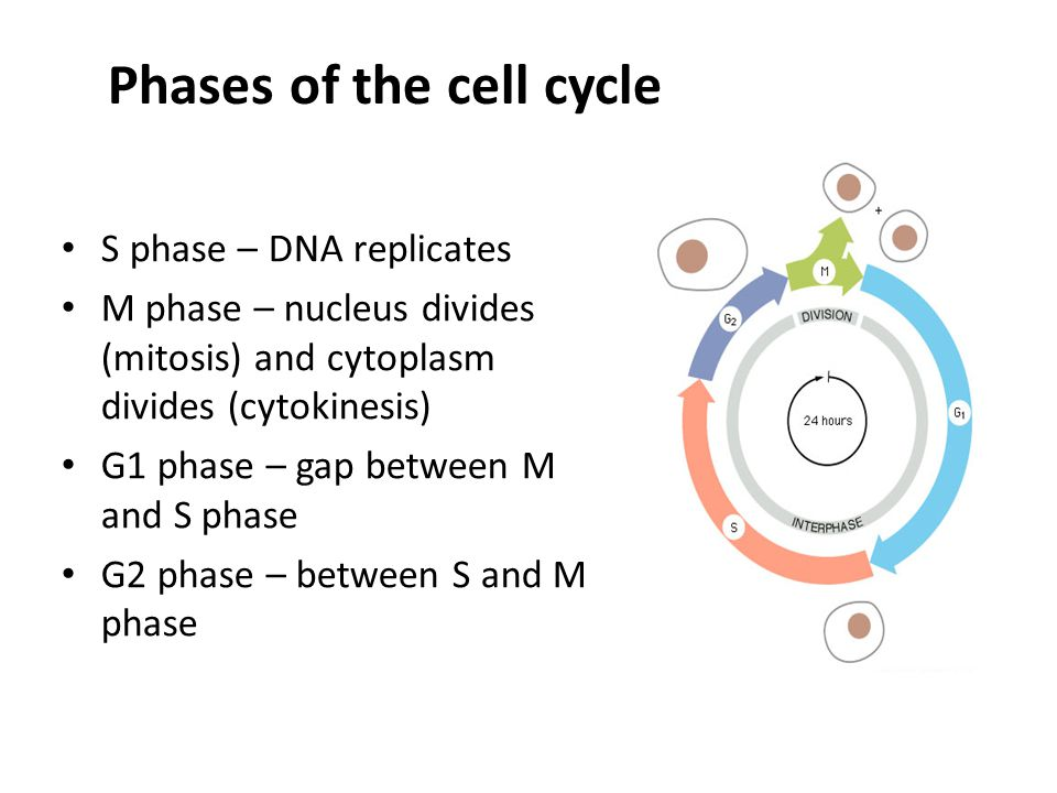 Cell cycle control Cell cycle machinery is subordinate to a cell cycle control system The control system consists mainly of protein complexes These complexes consist of a cyclin subunit and a Cdk subunit The cyclin has regulatory function, the Cdk catalytic function Cdk expression is constant, but cyclin concentrations rise and fall at specific times in the cell cycle The Cdks are cyclically activated by cyclin binding and by phosphorylation status Once activated, Cdks phosphorylate key proteins in the cell