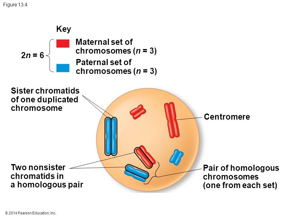 © 2014 Pearson Education, Inc. Figure 13.4 Key Maternal set of chromosomes (n = 3) Paternal set of chromosomes (n = 3) 2n = 6 Sister chromatids of one