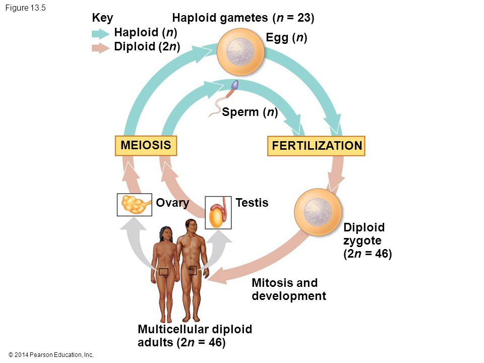 © 2014 Pearson Education, Inc. Figure 13.5 Key Haploid (n) Diploid (2n) Haploid gametes (n = 23) Egg (n) Sperm (n) MEIOSIS FERTILIZATION Testis Diploi