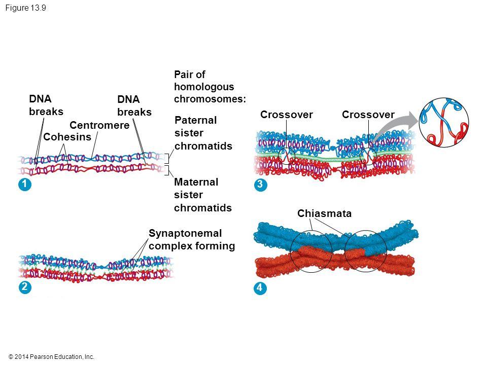 © 2014 Pearson Education, Inc. Figure 13.9 DNA breaks Cohesins Centromere DNA breaks Pair of homologous chromosomes: Paternal sister chromatids Matern