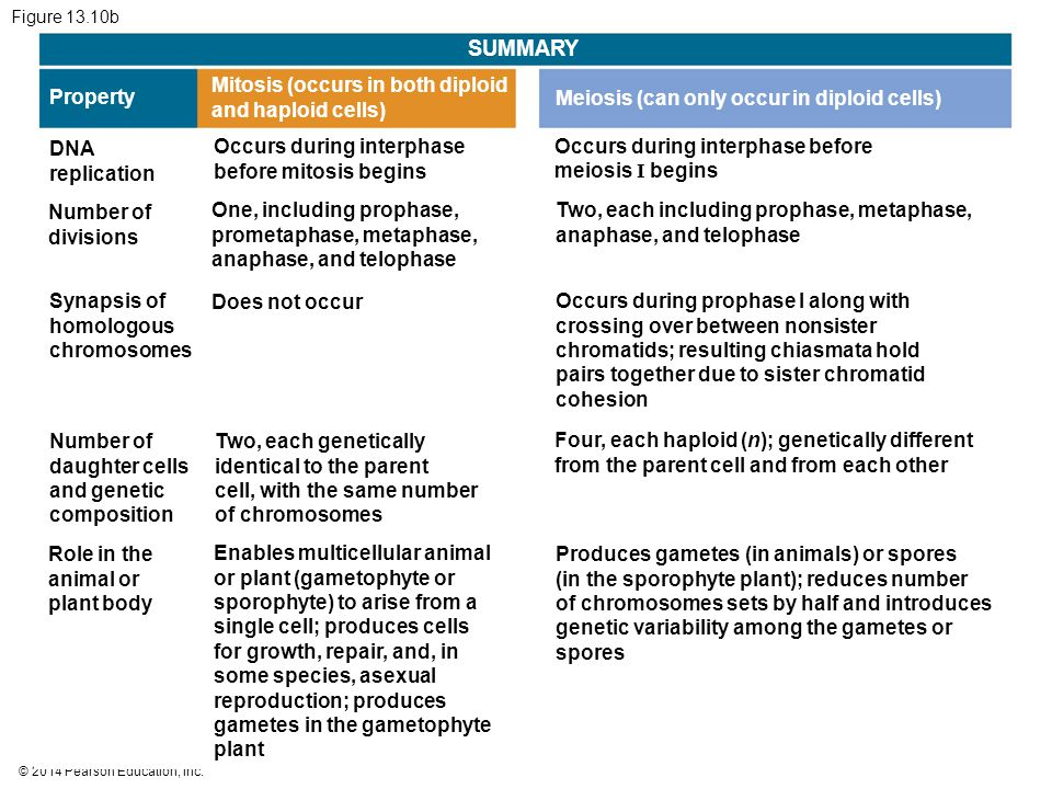 © 2014 Pearson Education, Inc. Figure 13.10b SUMMARY Property Mitosis (occurs in both diploid and haploid cells) Meiosis (can only occur in diploid ce