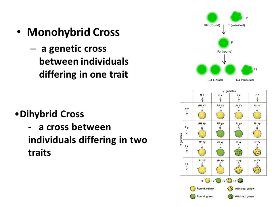 Difference Between Monohybrid And Dihybrid Cross 607517 Bunkyoinfo. What Is The Difference Between A Monohybrid Cross And. Worksheet. Monohybrid And Dihybrid Crosses Worksheet Answers At Mspartners.co