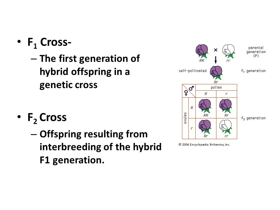 F 1 Cross- – The first generation of hybrid offspring in a genetic cross F 2 Cross – Offspring resulting from interbreeding of the hybrid F1 generatio
