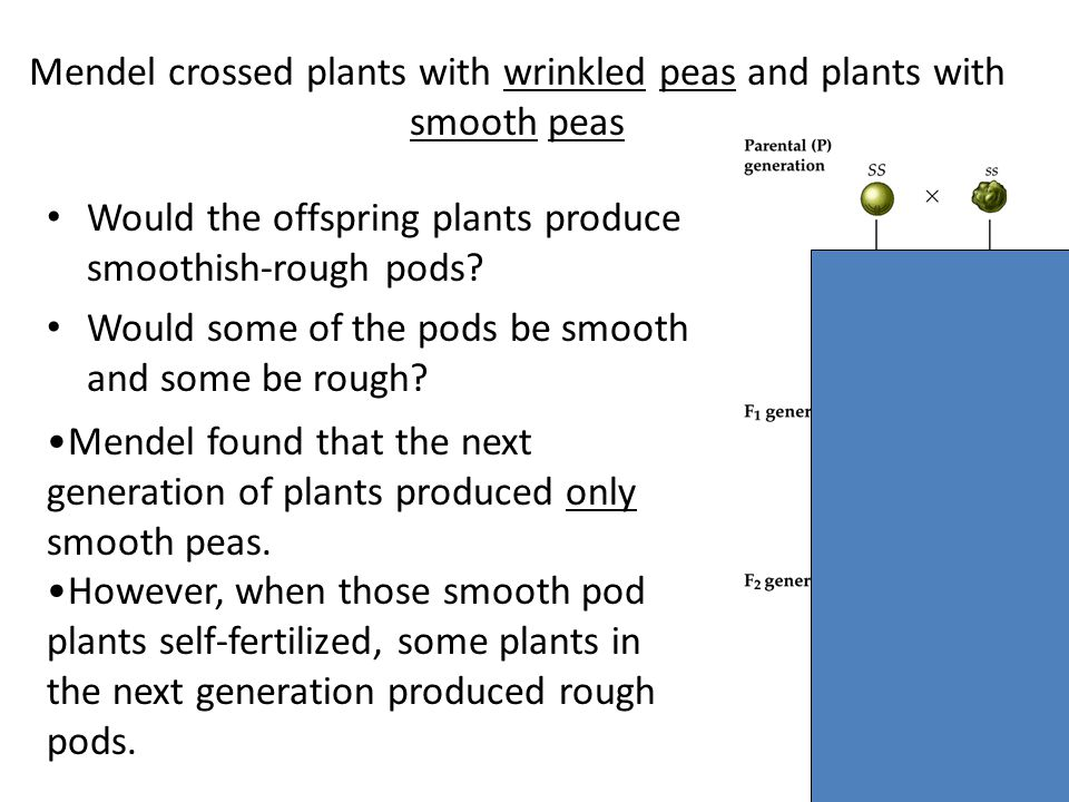 Mendel crossed plants with wrinkled peas and plants with smooth peas Would the offspring plants produce smoothish-rough pods? Would some of the pods b