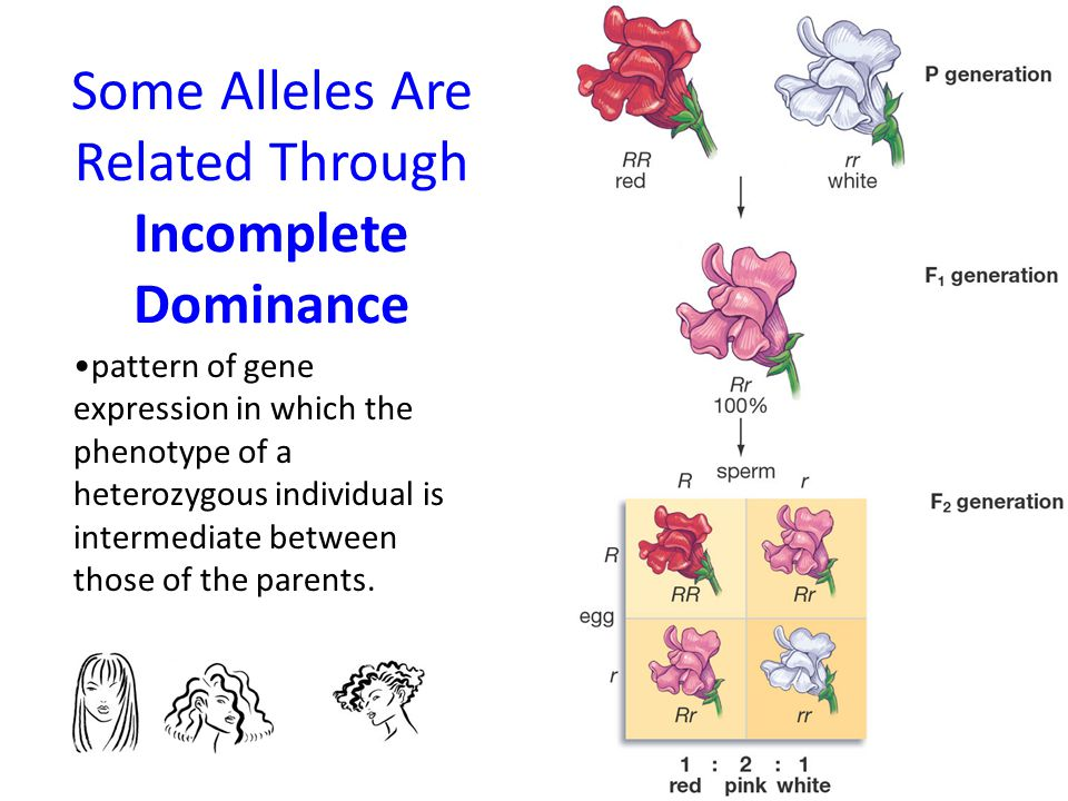 Some Alleles Are Related Through Incomplete Dominance pattern of gene expression in which the phenotype of a heterozygous individual is intermediate b