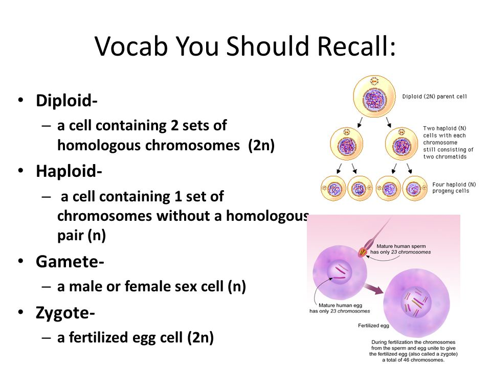 Vocab You Should Recall: Diploid- – a cell containing 2 sets of homologous chromosomes (2n) Haploid- – a cell containing 1 set of chromosomes without