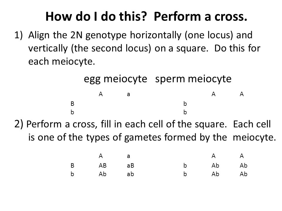 How do I do this? Perform a cross. 1)Align the 2N genotype horizontally (one locus) and vertically (the second locus) on a square. Do this for each me