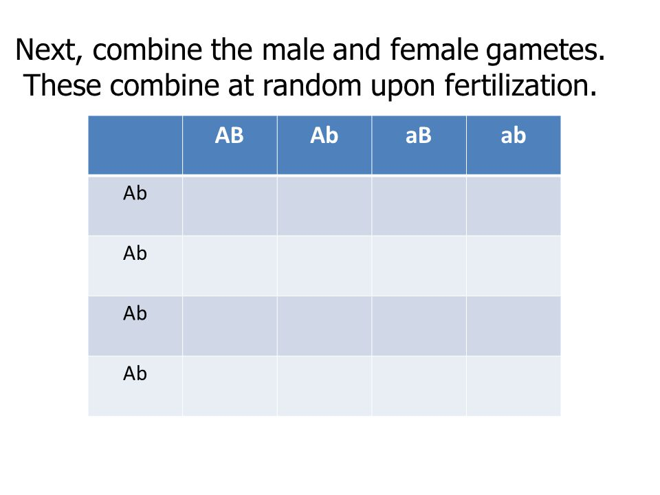 Next, combine the male and female gametes. These combine at random upon fertilization. ABAbaBab Ab