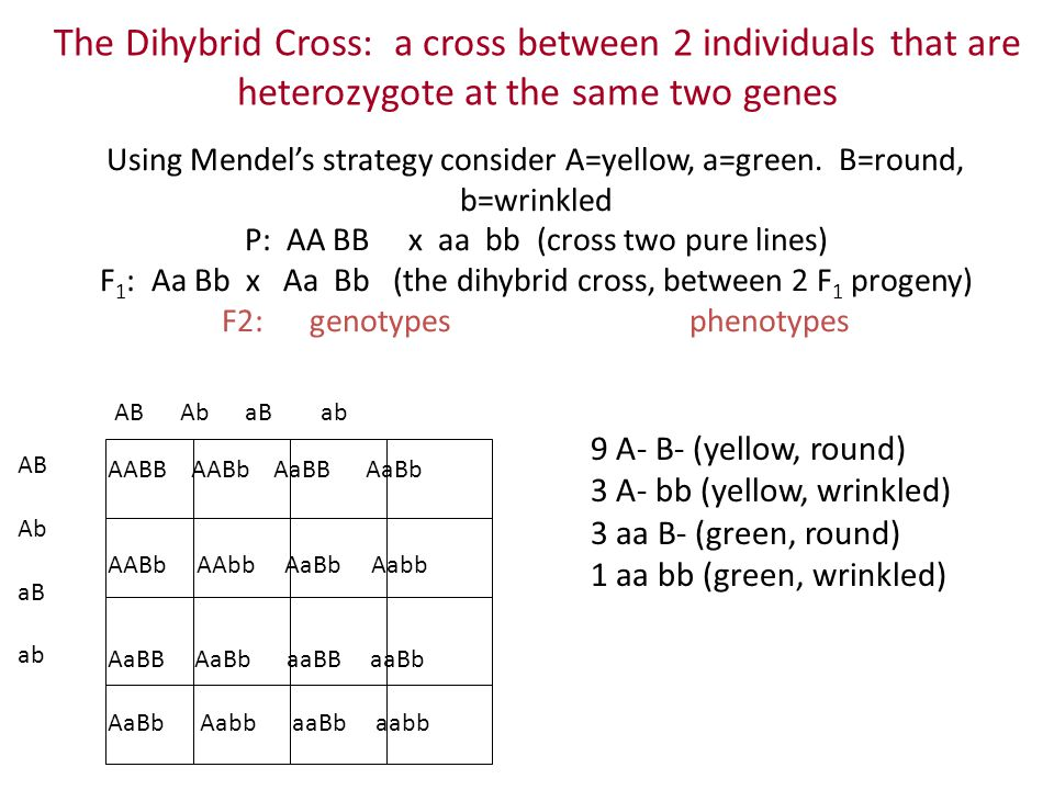 The Dihybrid Cross: a cross between 2 individuals that are heterozygote at the same two genes Using Mendel's strategy consider A=yellow, a=green. B=ro