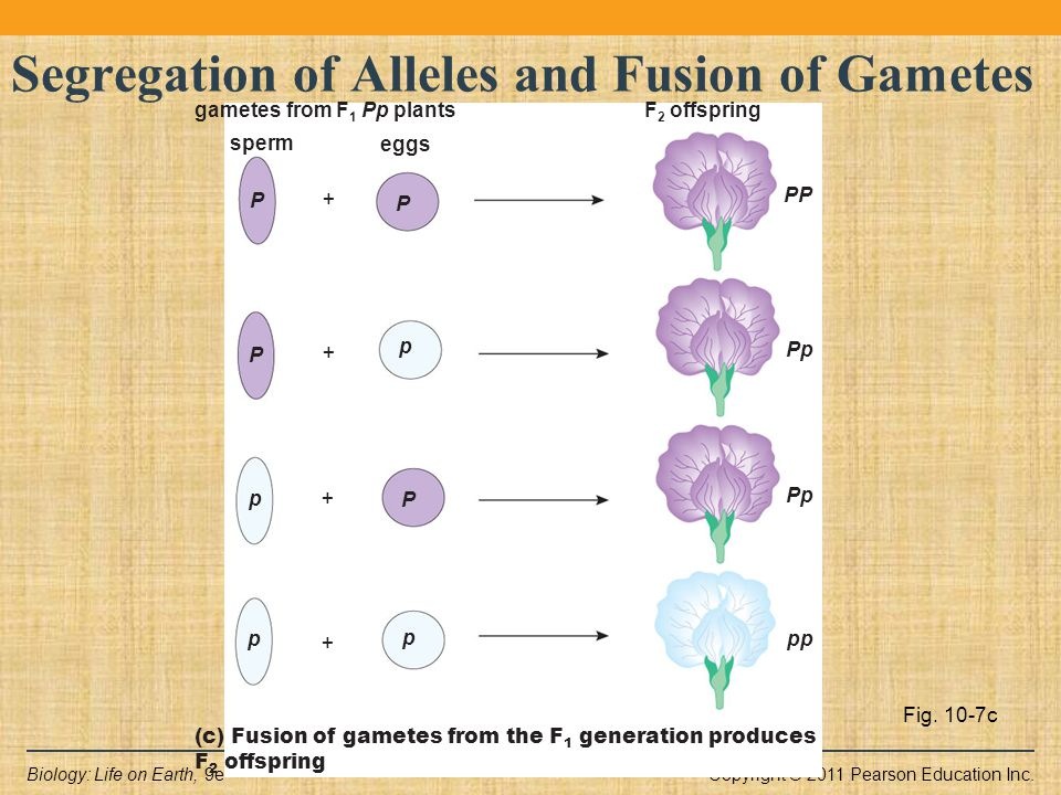 Copyright © 2011 Pearson Education Inc.Biology: Life on Earth, 9e Fig. 10-7c Segregation of Alleles and Fusion of Gametes pp p + Pp p + p + + gametes