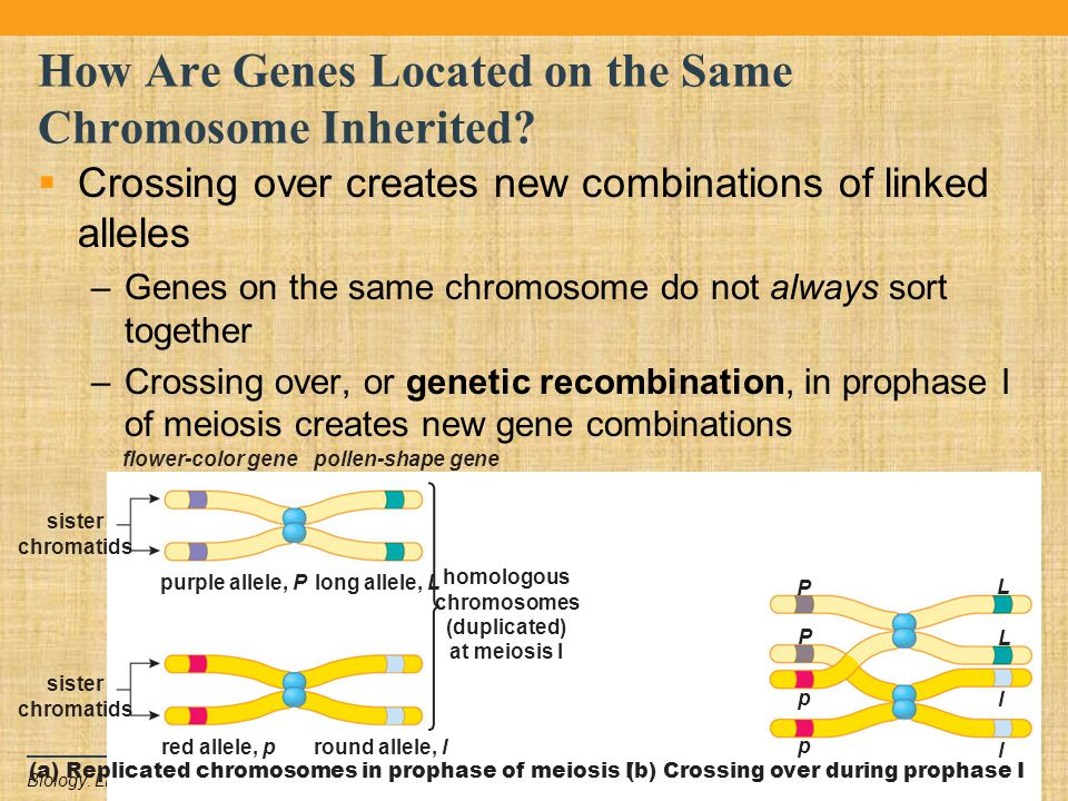 Copyright © 2011 Pearson Education Inc.Biology: Life on Earth, 9e How Are Genes Located on the Same Chromosome Inherited?  Crossing over creates new