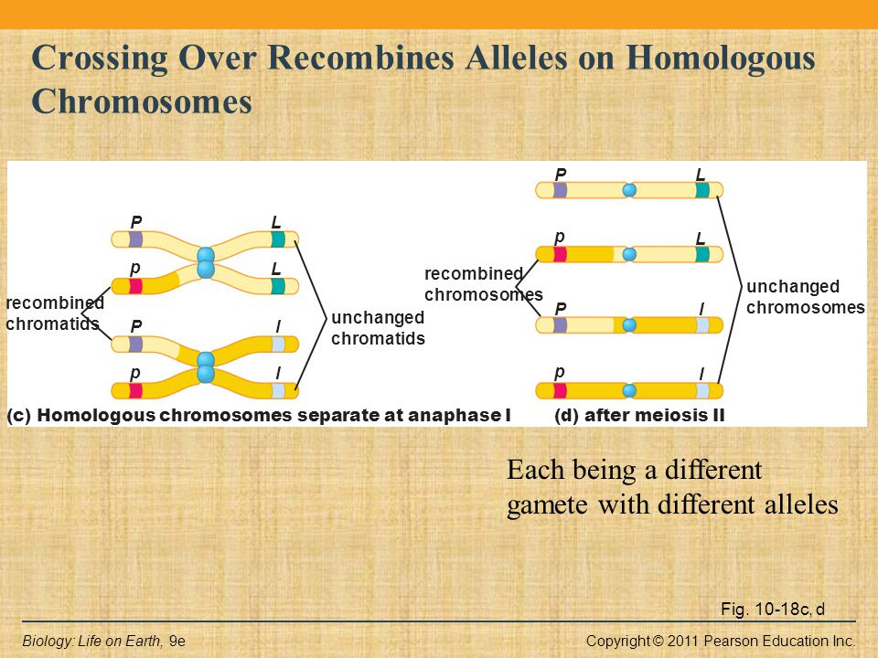 Copyright © 2011 Pearson Education Inc.Biology: Life on Earth, 9e Fig. 10-18c, d Crossing Over Recombines Alleles on Homologous Chromosomes recombined