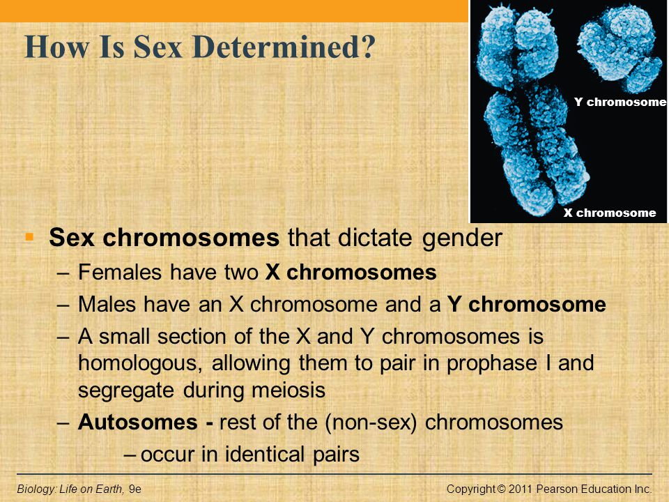 Copyright © 2011 Pearson Education Inc.Biology: Life on Earth, 9e X chromosome Y chromosome How Is Sex Determined?  Sex chromosomes that dictate gend