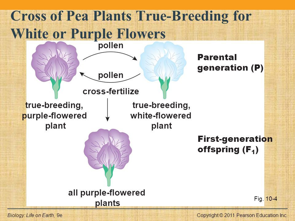 Copyright © 2011 Pearson Education Inc.Biology: Life on Earth, 9e true-breeding, purple-flowered plant true-breeding, white-flowered plant cross-ferti