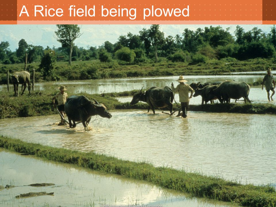 A Rice field being plowed