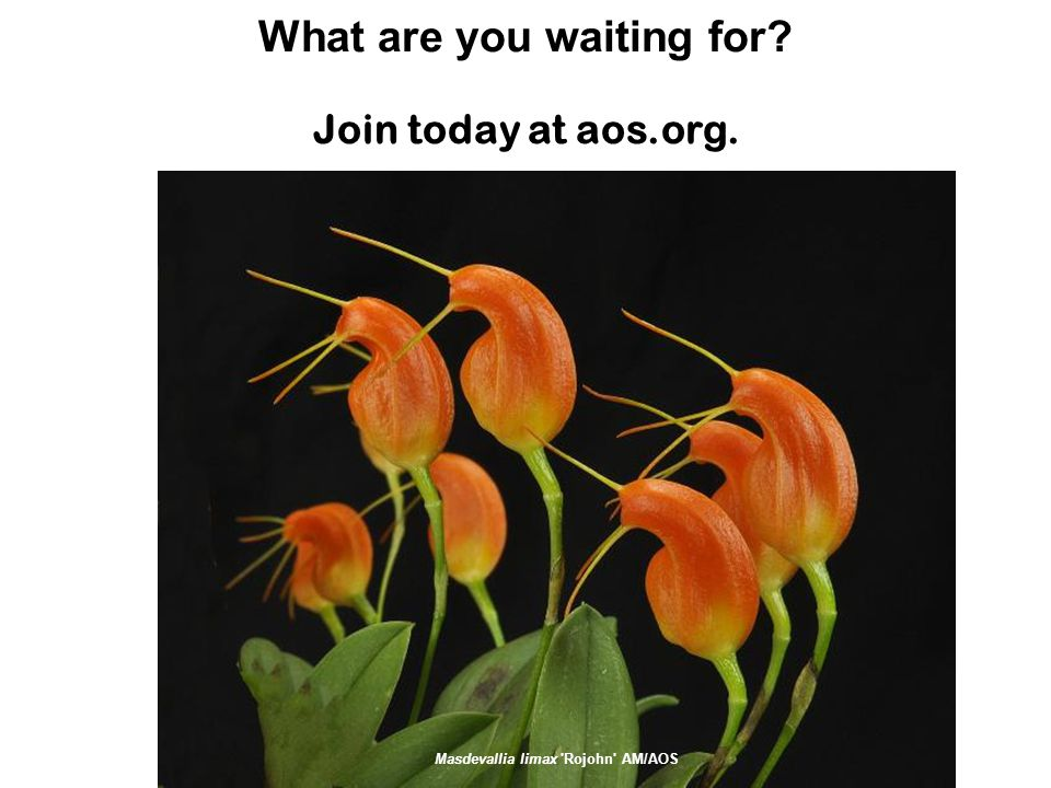 What are you waiting for Join today at aos.org. Masdevallia limax Rojohn AM/AOS