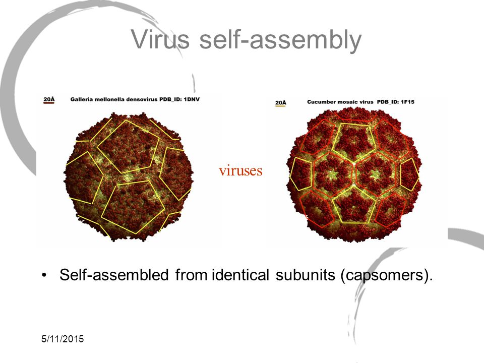 5/11/2015 Virus self-assembly Self-assembled from identical subunits (capsomers). viruses