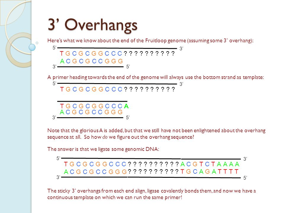 3' Overhangs Here's what we know about the end of the Fruitloop genome (assuming some 3' overhang): A C G C G C C G G G 5' 3' T G C G C G G C C C .