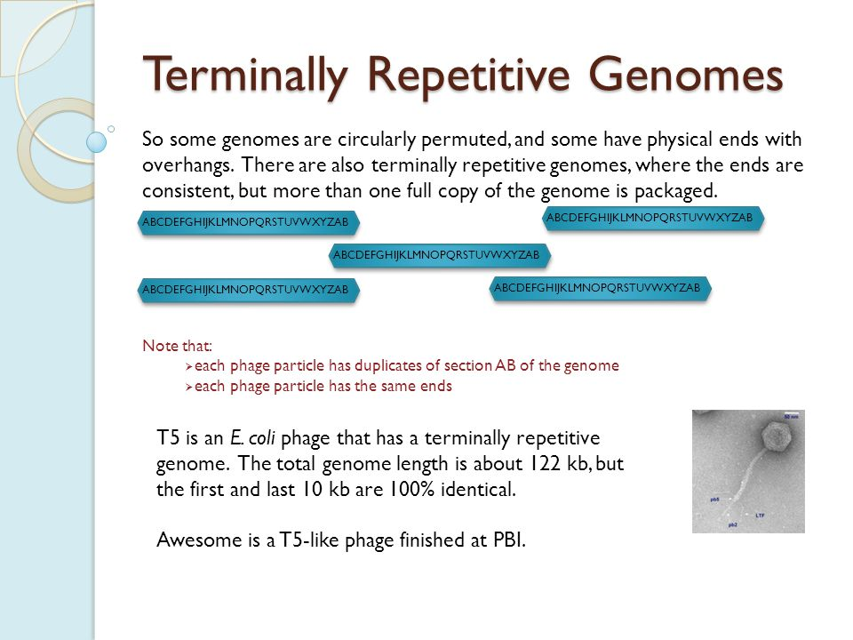 ABCDEFGHIJKLMNOPQRSTUVWXYZAB Terminally Repetitive Genomes Note that:  each phage particle has duplicates of section AB of the genome  each phage particle has the same ends So some genomes are circularly permuted, and some have physical ends with overhangs.