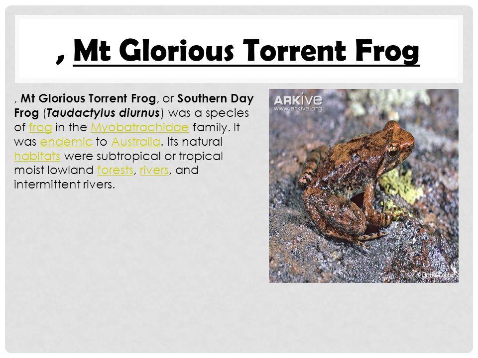 , Mt Glorious Torrent Frog, Mt Glorious Torrent Frog, or Southern Day Frog ( Taudactylus diurnus ) was a species of frog in the Myobatrachidae family.