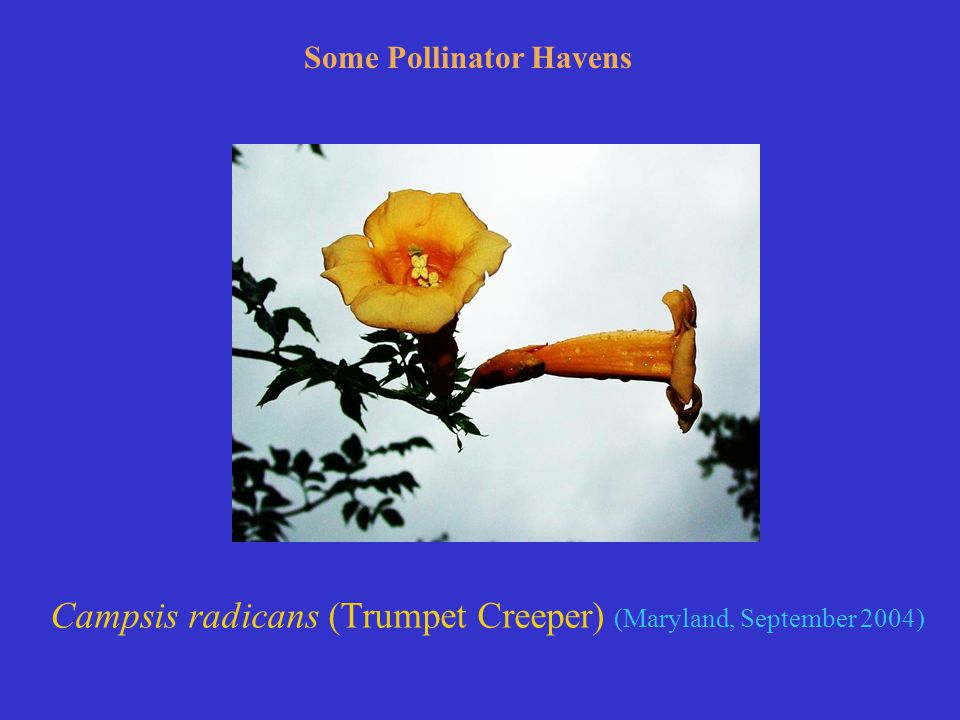 Campsis radicans (Trumpet Creeper) (Maryland, September 2004) Some Pollinator Havens