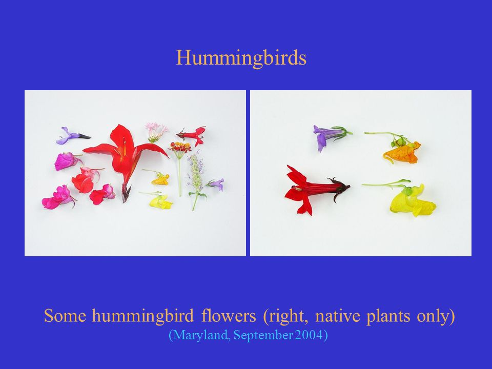 Some hummingbird flowers (right, native plants only) (Maryland, September 2004) Hummingbirds