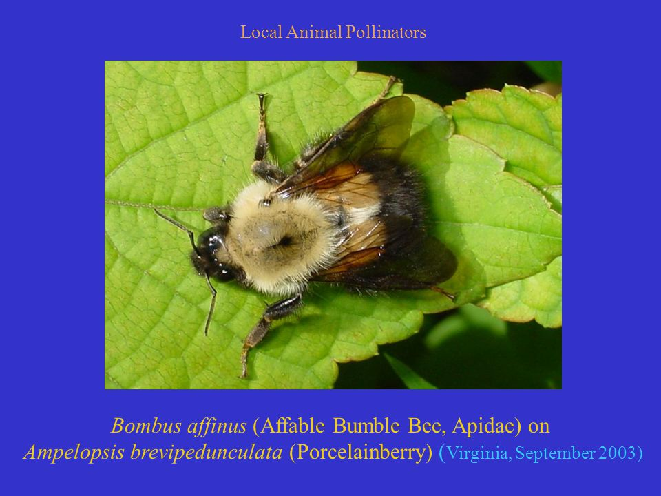 Local Animal Pollinators Bombus affinus (Affable Bumble Bee, Apidae) on Ampelopsis brevipedunculata (Porcelainberry) ( Virginia, September 2003)