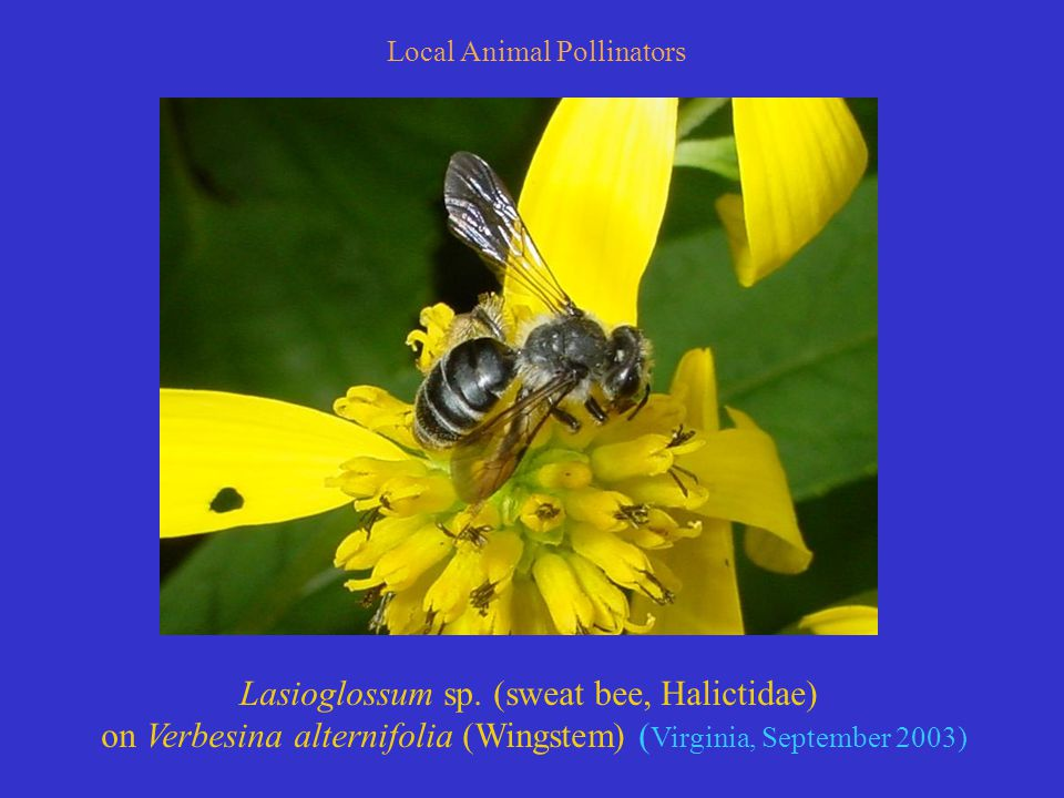 Local Animal Pollinators Lasioglossum sp.