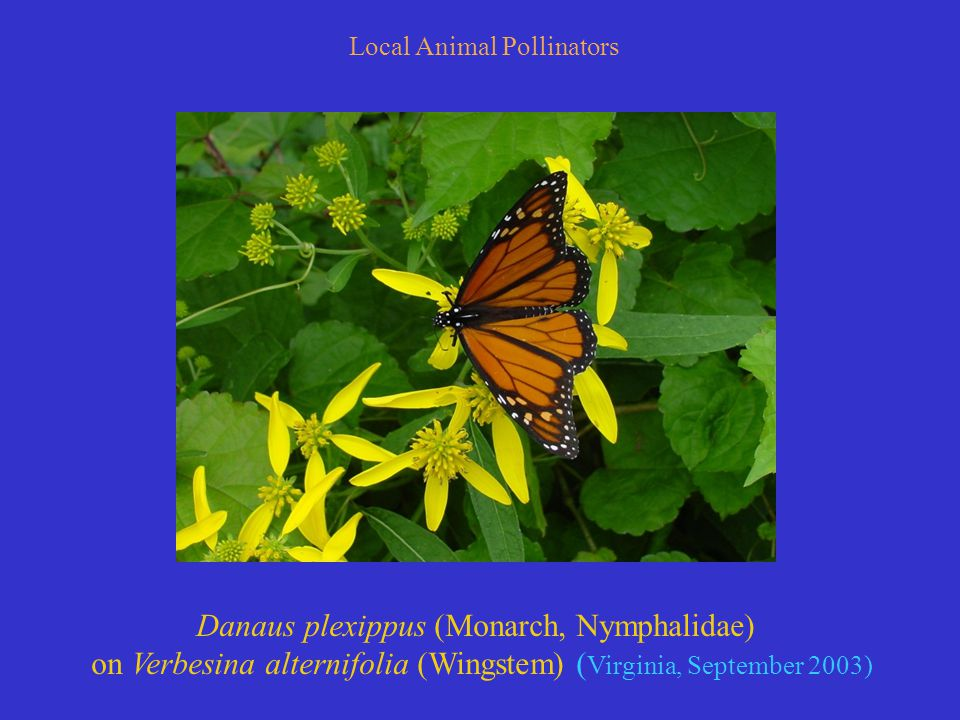 Local Animal Pollinators Danaus plexippus (Monarch, Nymphalidae) on Verbesina alternifolia (Wingstem) ( Virginia, September 2003)