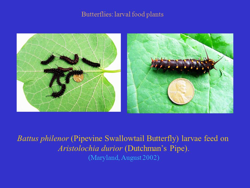 Battus philenor (Pipevine Swallowtail Butterfly) larvae feed on Aristolochia durior (Dutchman's Pipe).