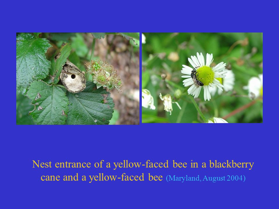 Nest entrance of a yellow-faced bee in a blackberry cane and a yellow-faced bee (Maryland, August 2004)