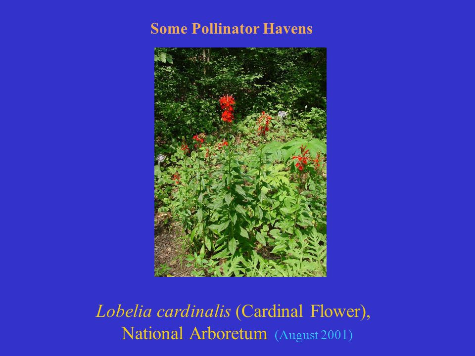 Lobelia cardinalis (Cardinal Flower), National Arboretum (August 2001) Some Pollinator Havens
